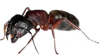 acrobat-ant-bed-bug-infestation-in-michigan-homes