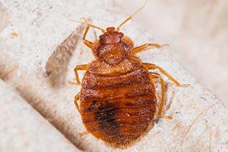 adult-cimex-lectularius