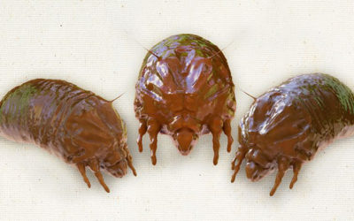 How to Battle the Bedbugs