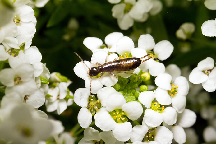 Earwigs, a Pest to Know About