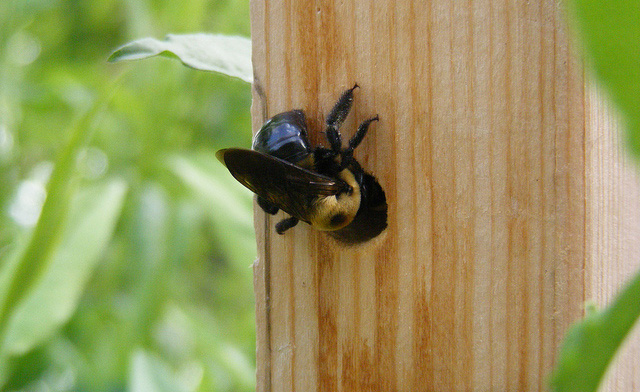Carpenter Bees and Signs of an Infestation