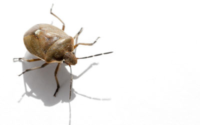 Stink Bugs | Michigan Pest Control Services