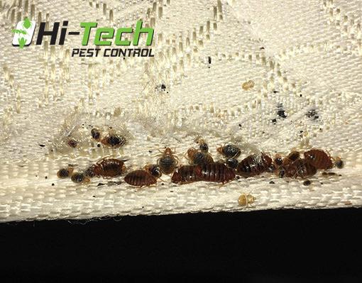 Do Bed Bugs Hibernate?