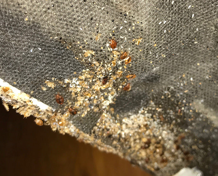 How Do You Know if You've Been Bitten by a Bed Bug?