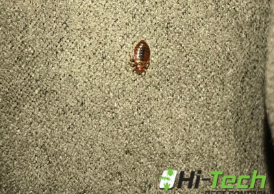 picture-of-a-bed-bug-crawling-on-a-sofa