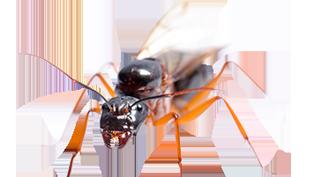 carpenter-ants-pest-control-services-in-michigan