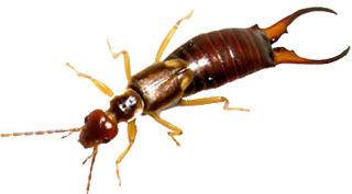 pest-control-for-earwig-bed-bugs-and-more-in-michigan